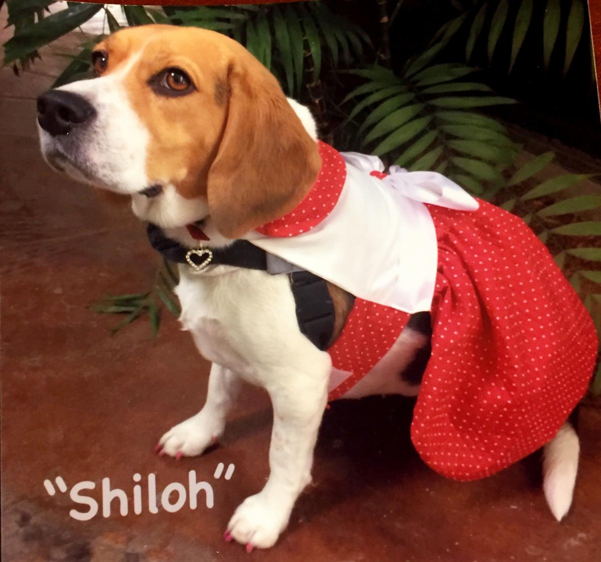 Shiloh the beagle - Banner Payson Medical Center pet therapy program
