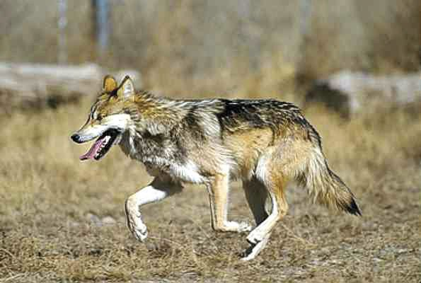 Mexican Grey Wolves on the run