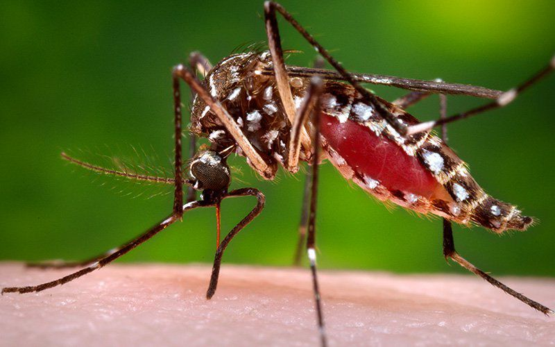 The Aedes Aegypti, is a common domestic, day-biting mosquito
