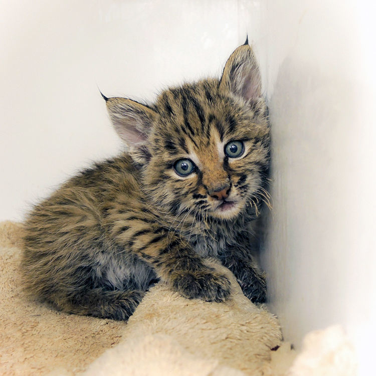 Orphaned bobcat rescued by SWCC