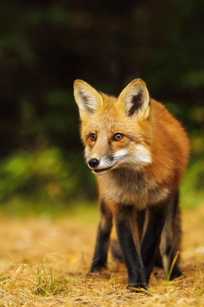 rabid fox found in punkin center