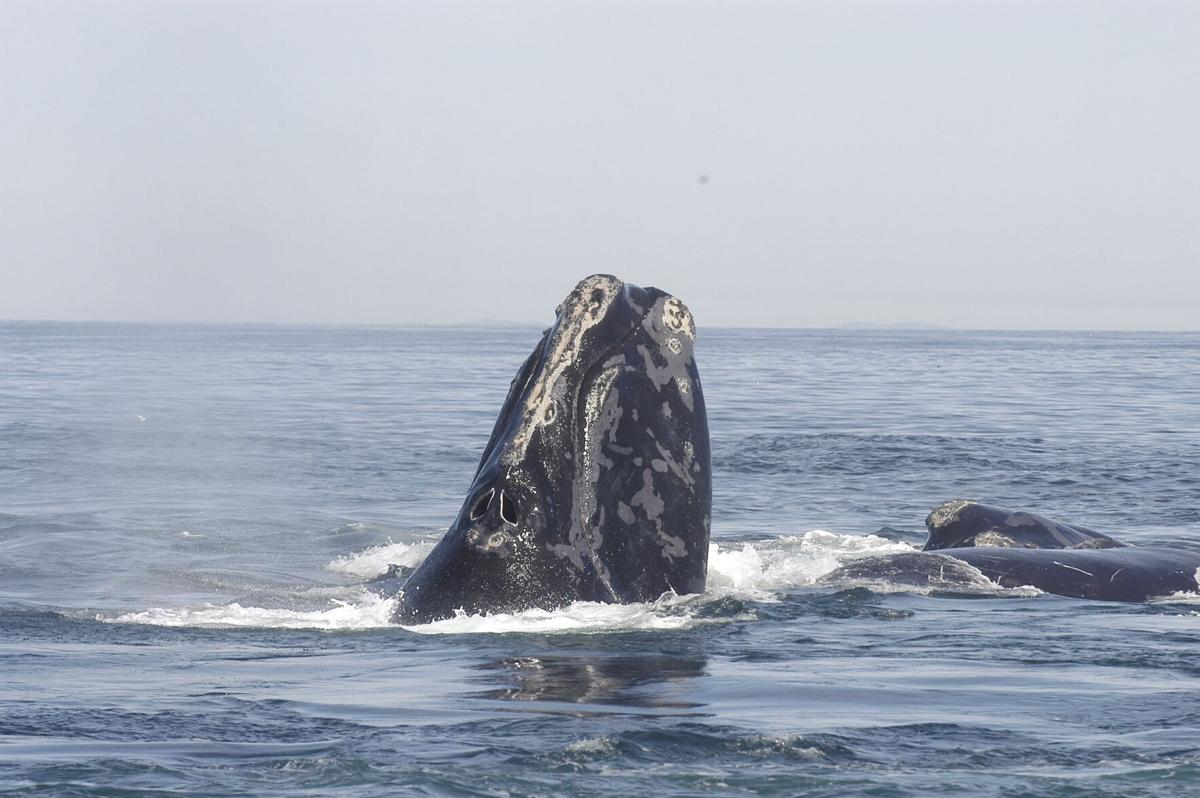 North_Atlantic_right_whale-wikimedia