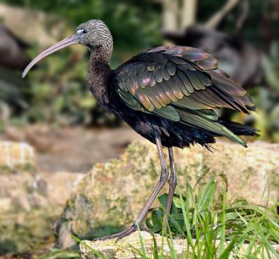 Rare bird spotted near Priest's Pond