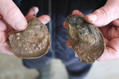 Unknowns face industry as the spring oyster season ends