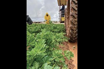 McClendon's Select harvest celery