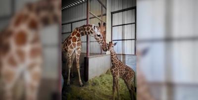 Giraffe gives birth at Wildlife World
