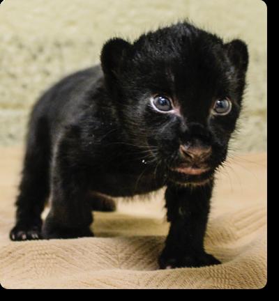 Endangered jaguar gives birth at Wildlife World