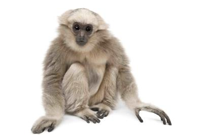Young Pileated Gibbon, 1 year old, Hylobates Pileatus, sitting in front of white background