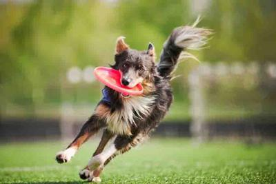 19832890 - funny border collie dog brings the flying disc in jump