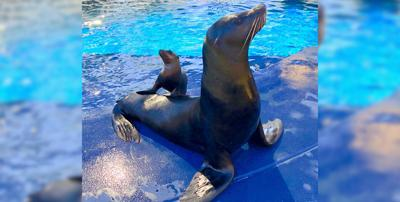 Sea lion becomes father at Wildlife World