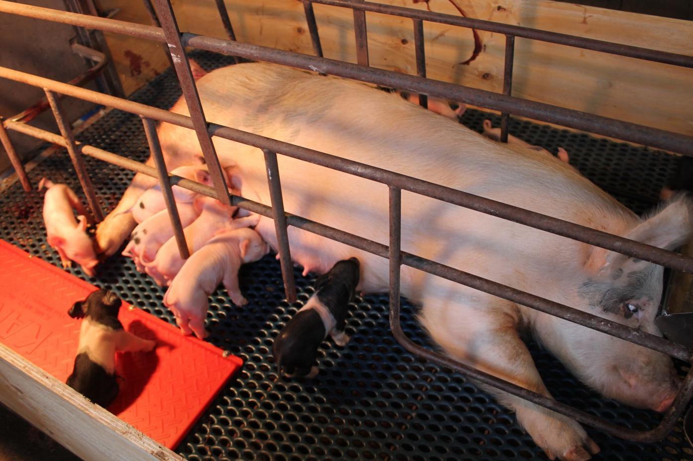 Piglets arrive at FFA barn