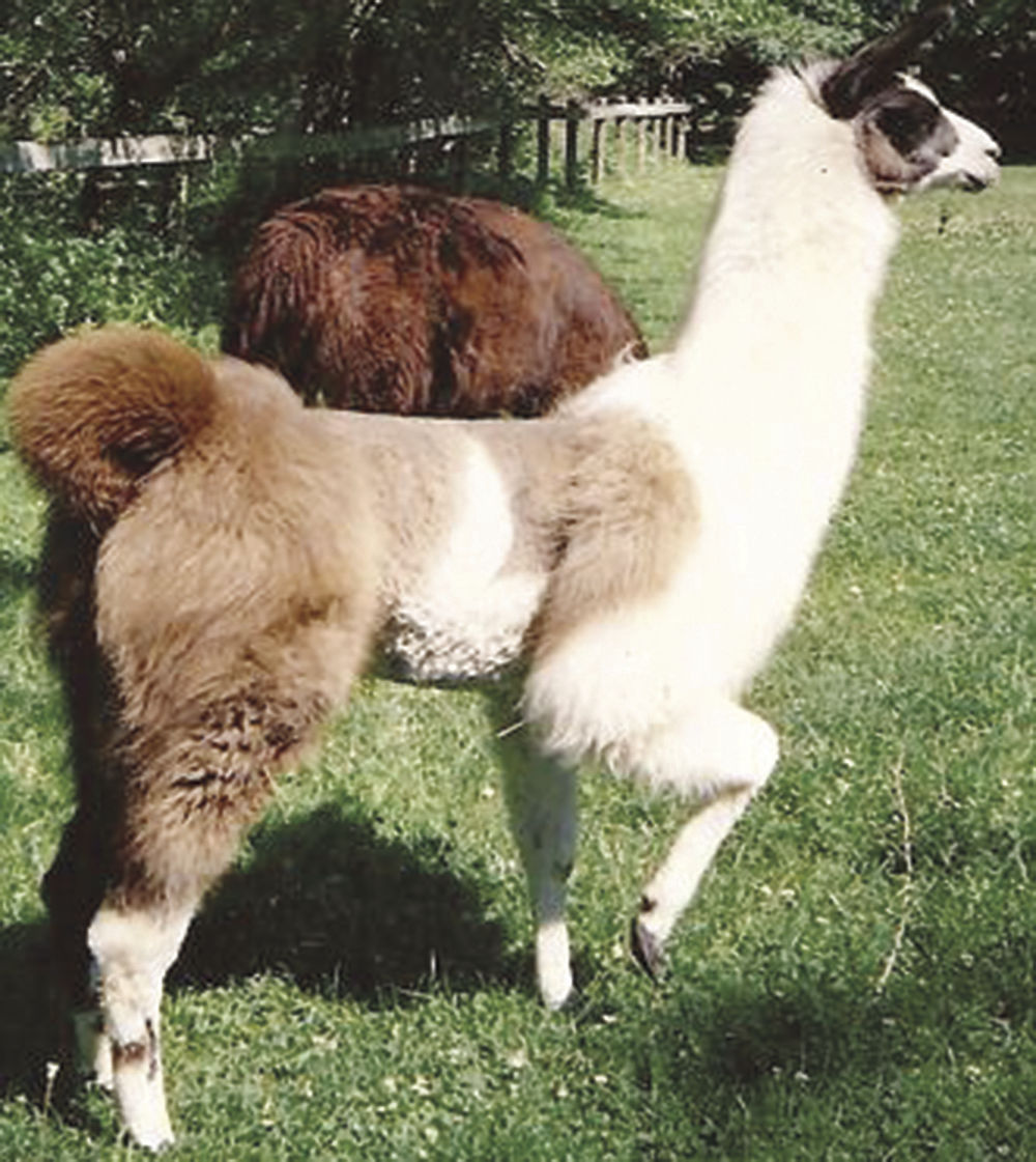 Owners Of Timberlane Llama Farm To Be Inducted In To Ohio State Fair Hall Of Fame News Perrytribune Com