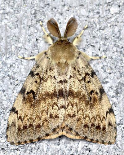 Gypsy moth treatments scheduled in Fulton Co.