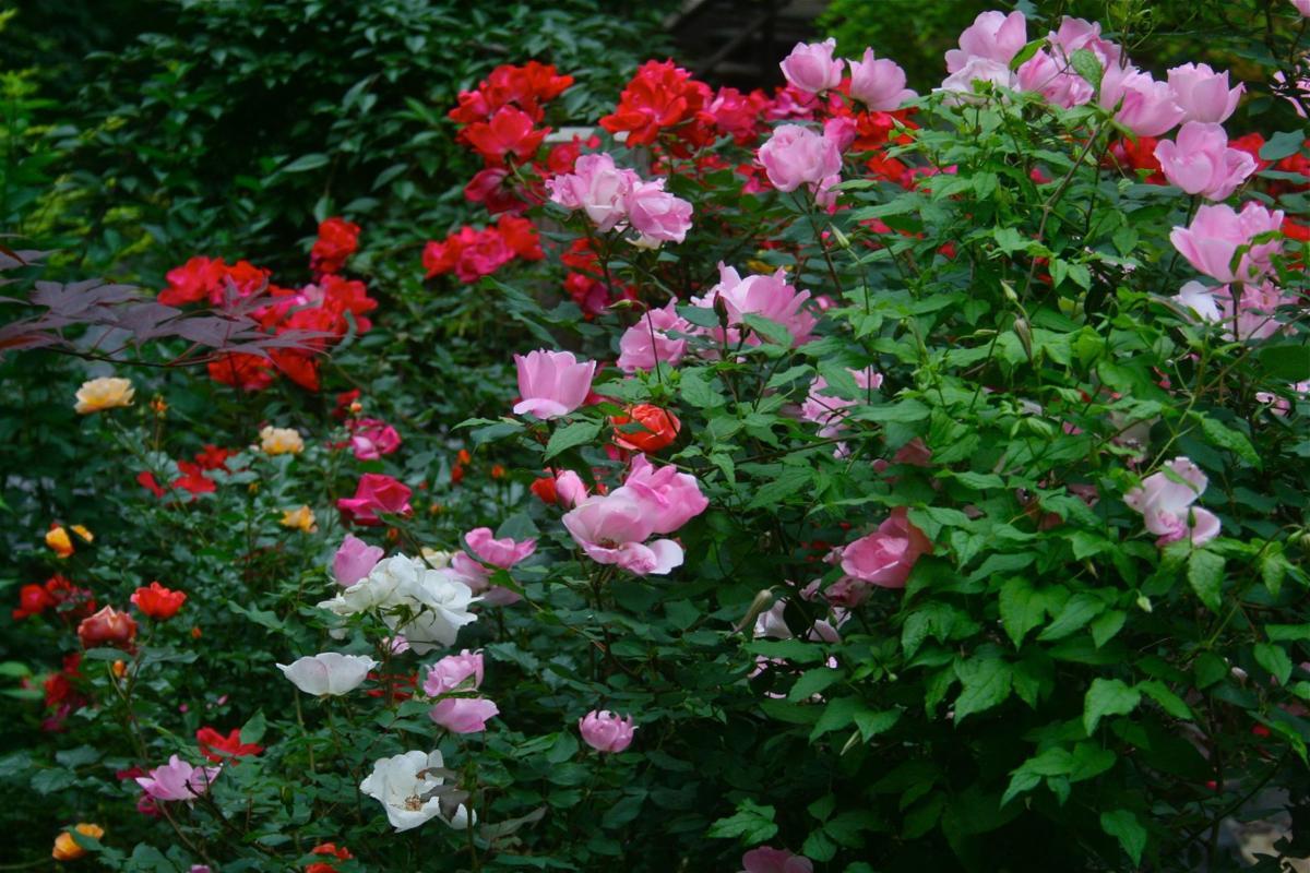 Easy-grow roses
