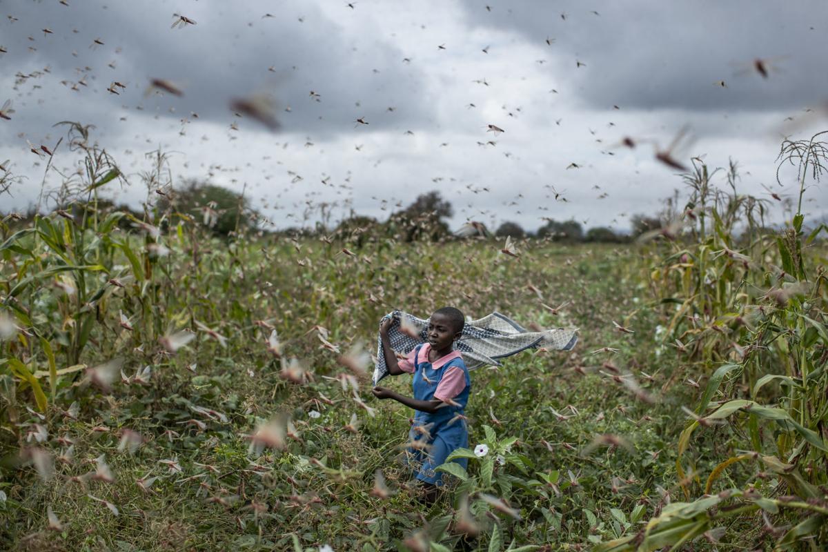 Africa locusts