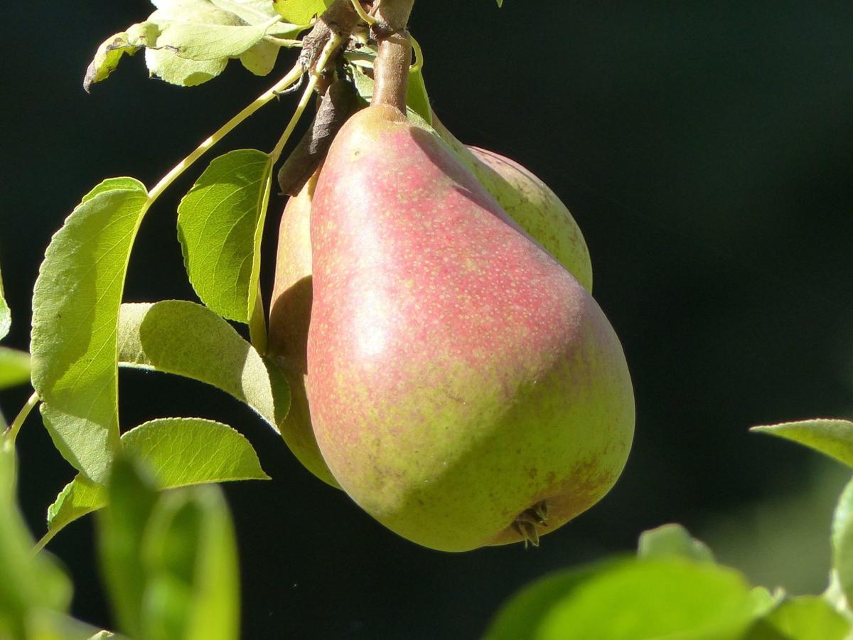 Pears mature, don't ripen