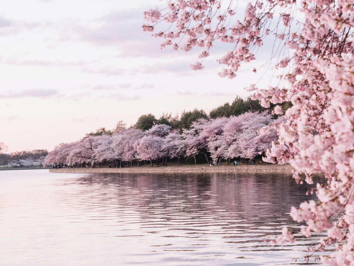 Did You Know Facts About Cherry Blossoms The Learning Key Phillytrib Com