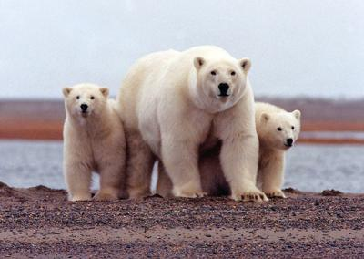 Did You Know: National Polar Bear Week (Nov. 1-7)