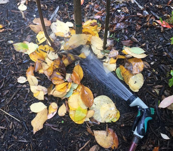 Wintertime watering, mulching helps drought-sensitive plants