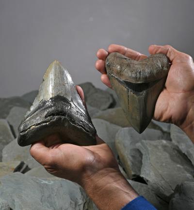 news-sharkteeth052819-01