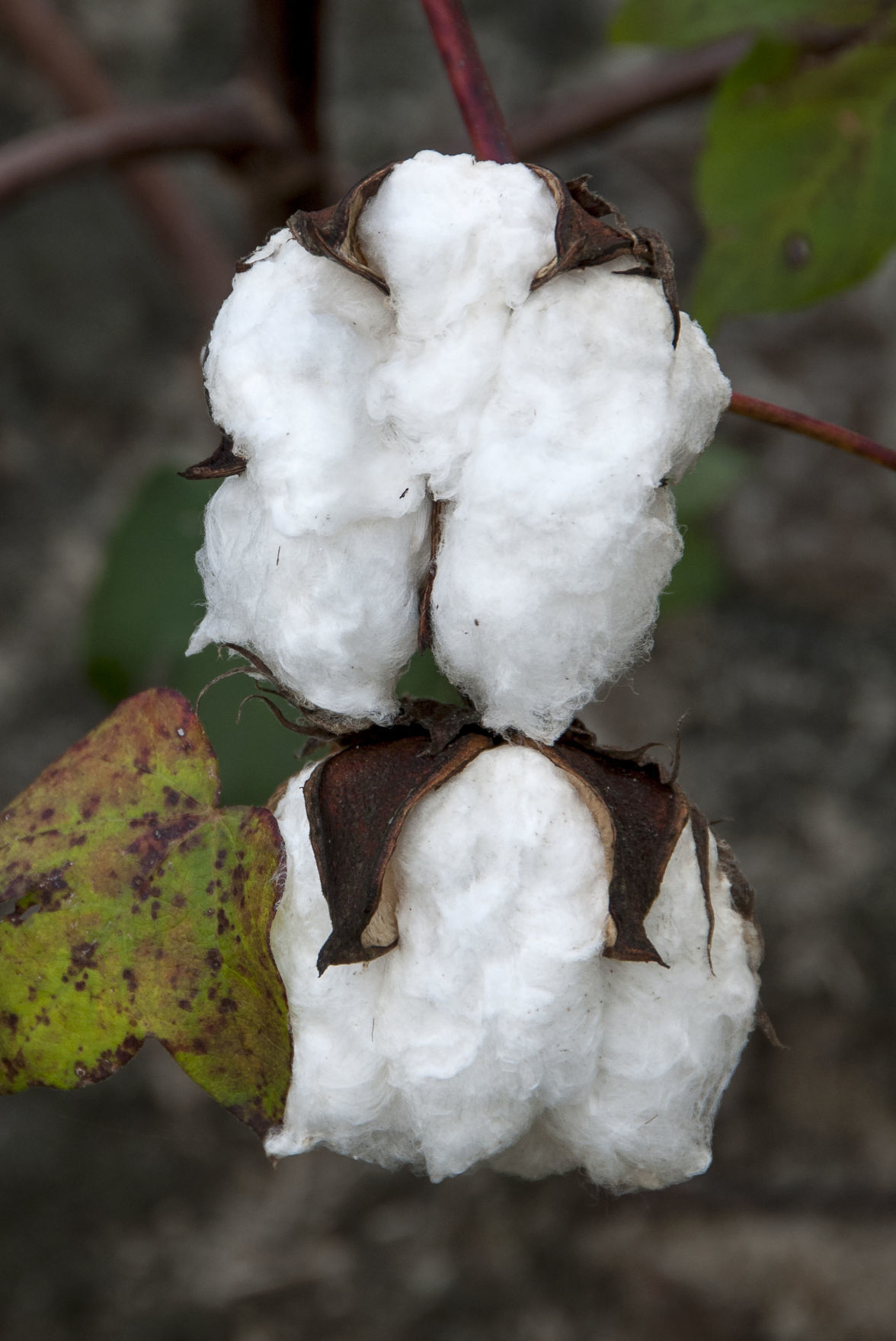 Cotton: The Soft, Dangerous Beauty of the Past