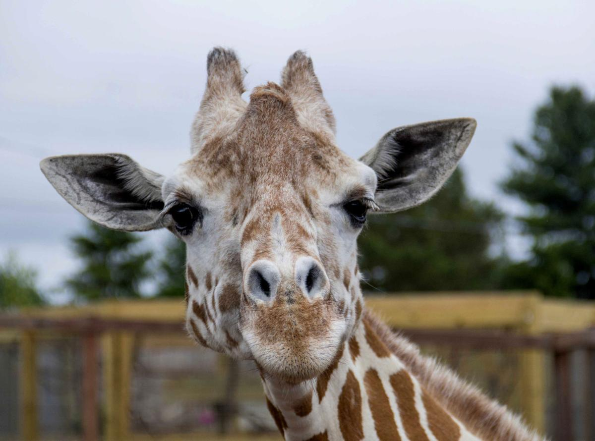 US--April the Giraffe