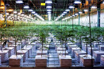 Marijuana growing at a dispensary in New Jersey