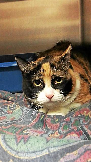 """Spay and Save: """"T.L."""", a lonesome cat who needs a lap to sit on"""
