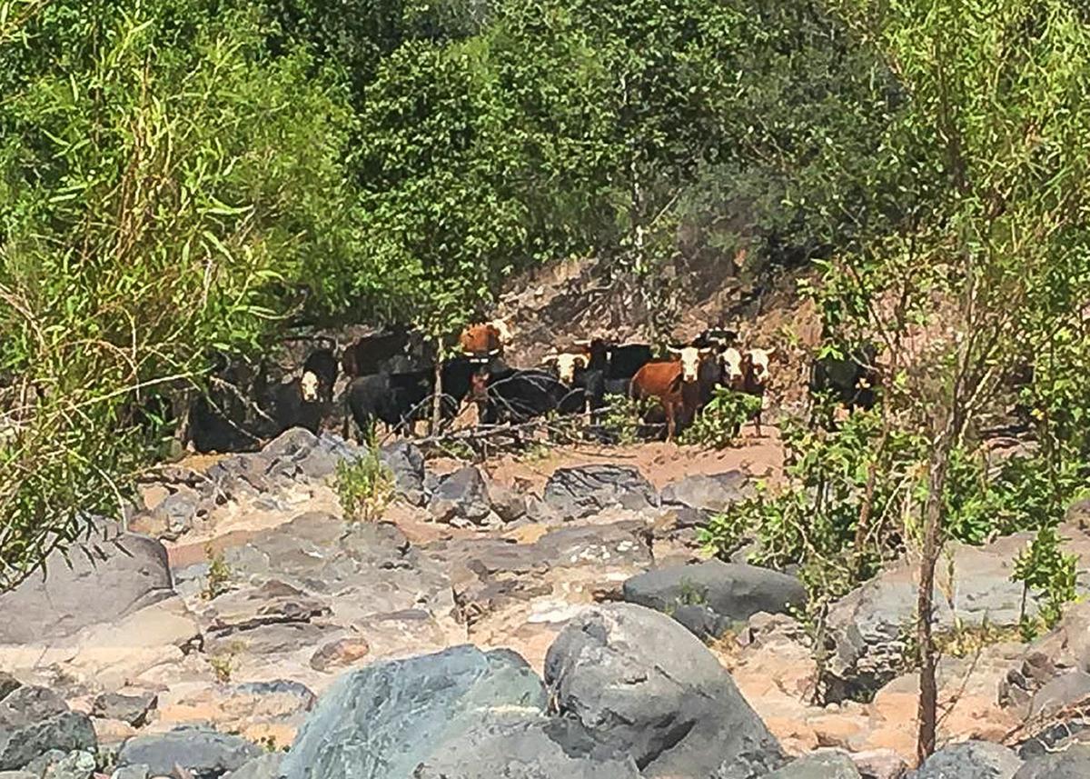 Cattle Verde
