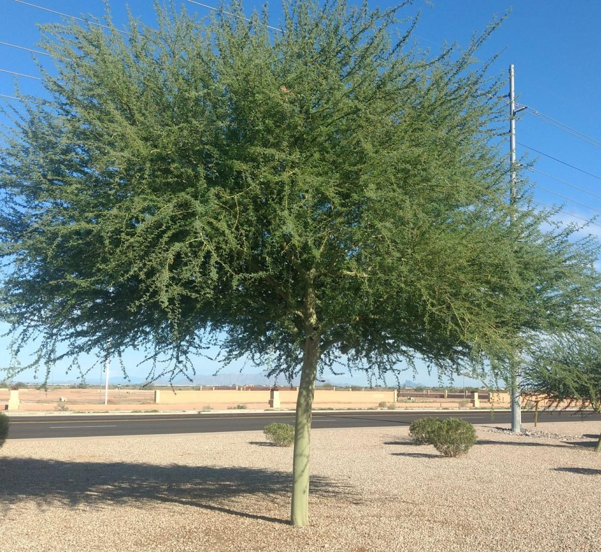 Gibson: Getting to know the Parkinsonia (palo verde) trees | Health ...