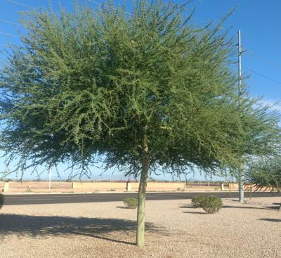 Gibson Getting To Know The Parkinsonia Palo Verde Trees Health
