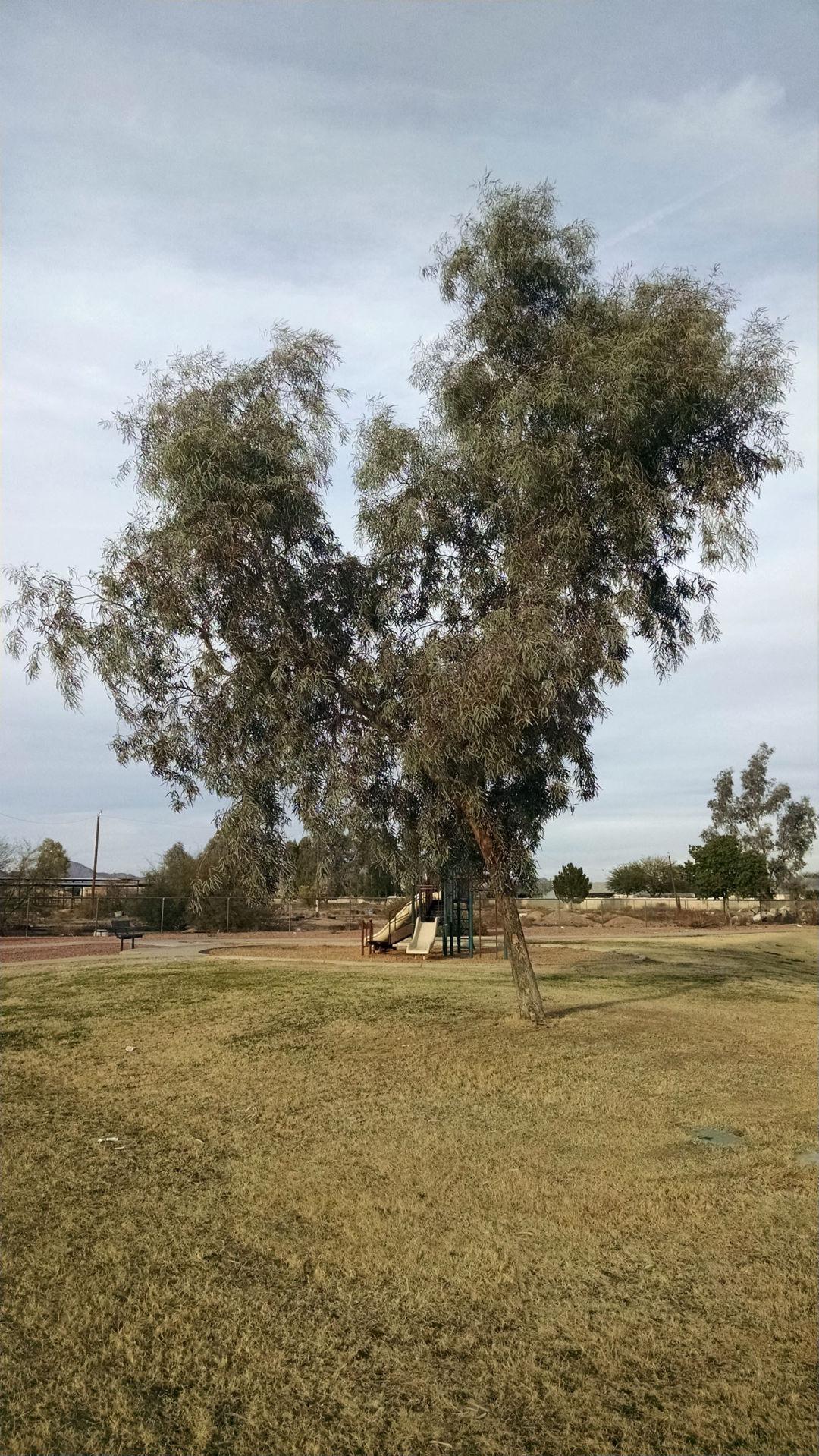 Arizona Gardeners: Eucalyptus trees in desert areas | Home And ...
