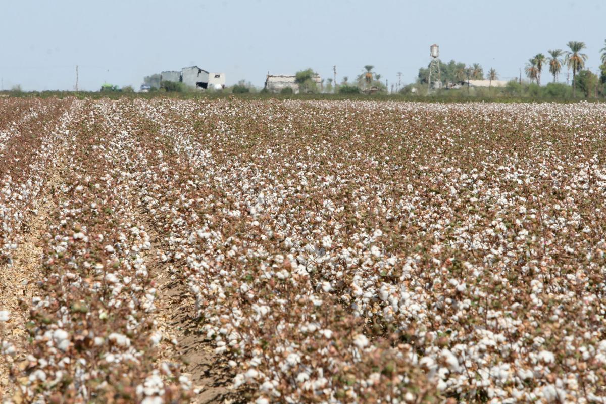 030117-ce-cotton-0956