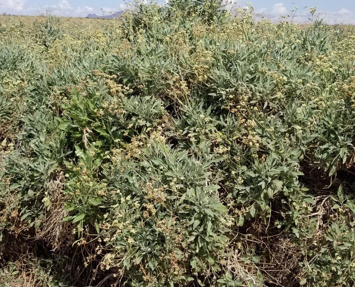 Guayule: rubber from the desert