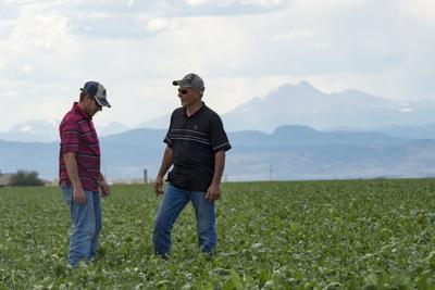 Sugar Beets Colorado