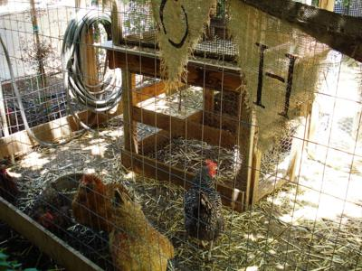 Thinking of raising chickens at your house? | Home And
