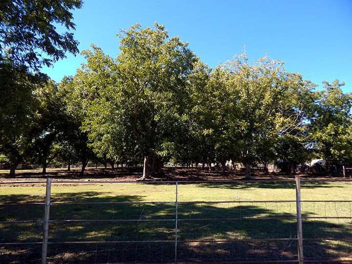 Arizona pecan production peaks | Business | pinalcentral com