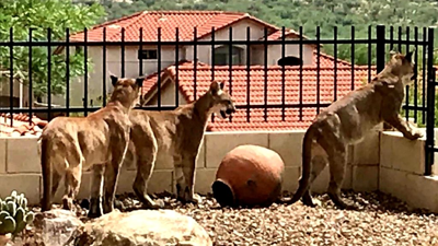Mountain Lions in Saddlebrooke