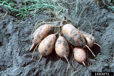 Gibson: Sweet potato or yam? Interesting difference   Home And