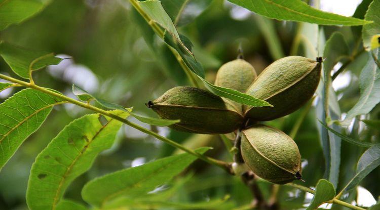Arizona Nuts