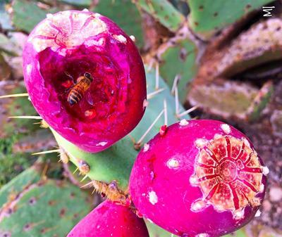 Prickly Pear Treats 1
