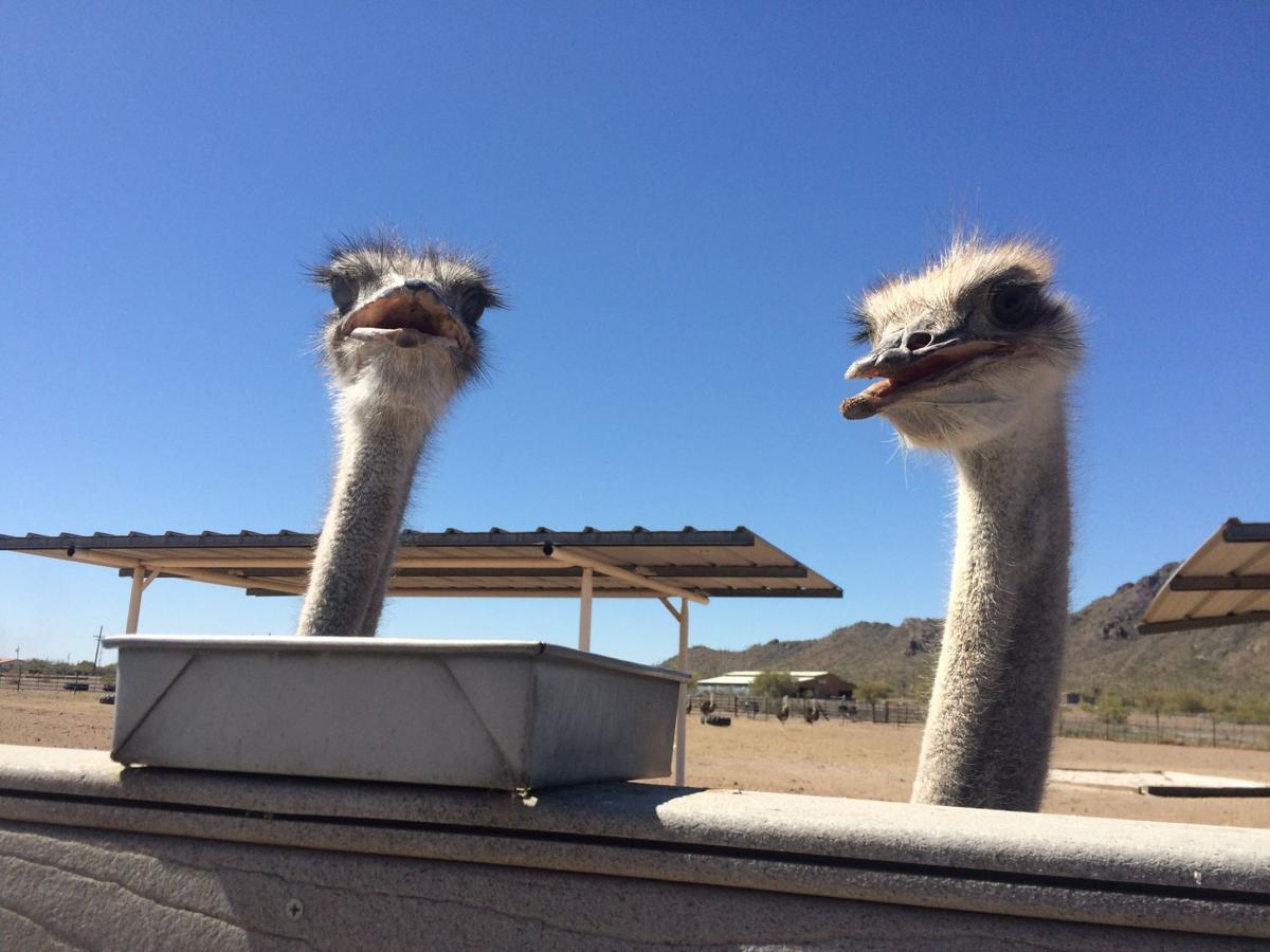 Cogburn Ostrich Ranch 25