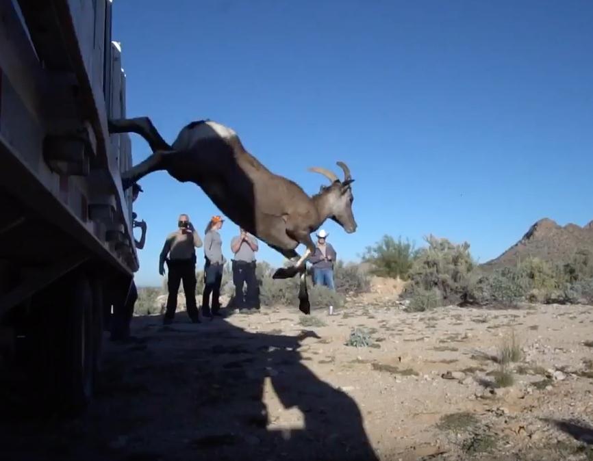 Picacho Bighorn Release