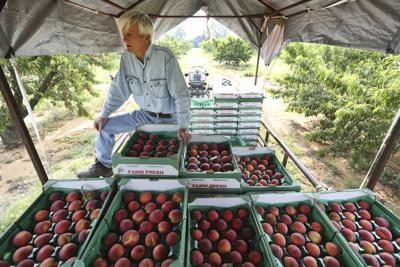 Texas Peach Crop