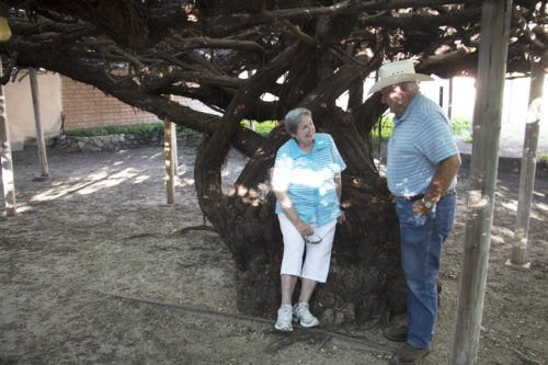 World S Largest Rose Tree In Tombstone For Sale At 1 6m