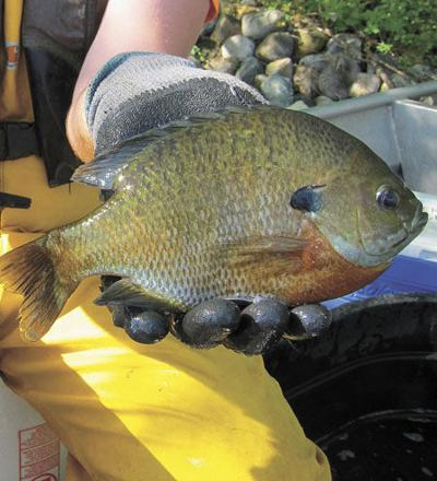 Build up bluegills with catch-and-release