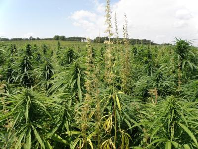 Industrial hemp | Photo courtesy Minnesota Department of Agriculture
