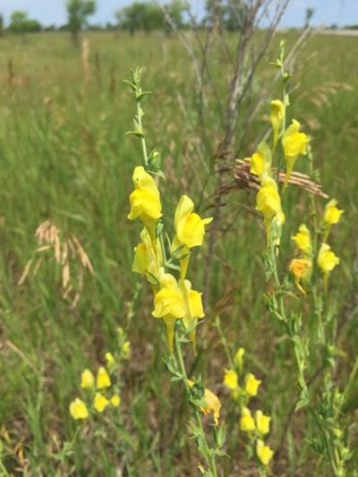 September's Weed of the Month: Dalmatian toadflax
