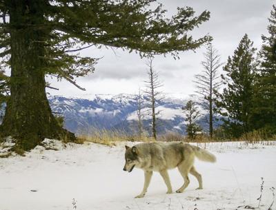 Gray Wolves-Endangered-RS