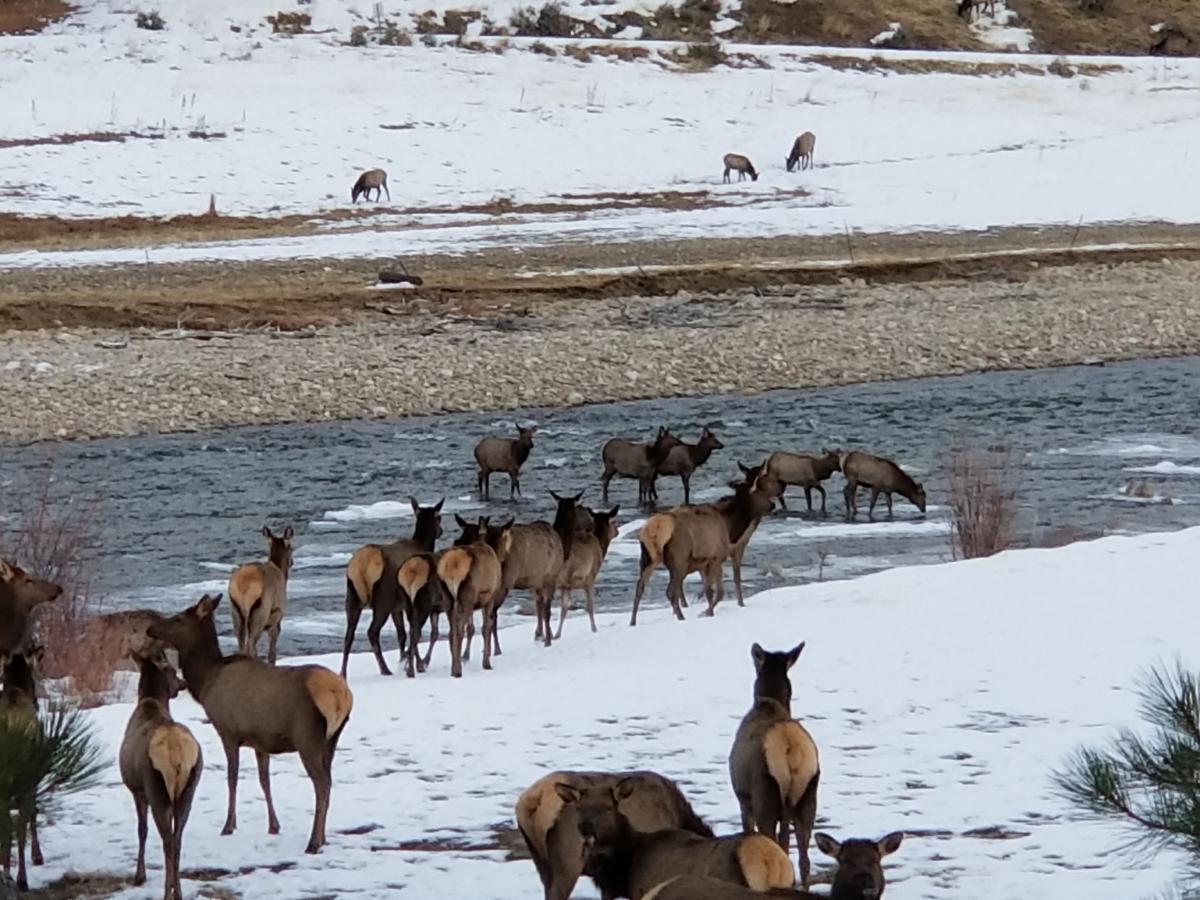 Elk herd in winter crossing a river